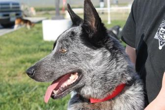 Australian Cattle Dog Mix Dog for adoption in Paso Robles, California - Pirate