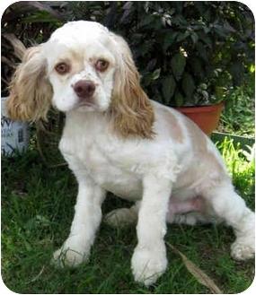 Cocker Spaniel Dog for adoption in Sugarland, Texas - Knox