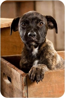 Mastiff/Pit Bull Terrier Mix Puppy for adoption in Portland, Oregon - Zander