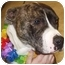 Photo 1 - Pit Bull Terrier/American Staffordshire Terrier Mix Dog for adoption in Battleground, Indiana - Scarlet