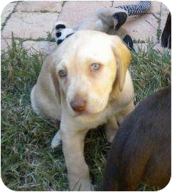 Labrador Retriever Mix Puppy for adoption in Altmonte Springs, Florida - Angel-Puppy Summer