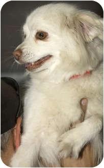American Eskimo Dog Mix Dog for adoption in Tangent, Oregon - Diamond