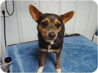 Chihuahua Mix Dog for adoption in Irvington, Kentucky - Sam