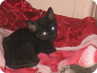 Domestic Shorthair Kitten for adoption in Phoenix, Arizona - Calhoun