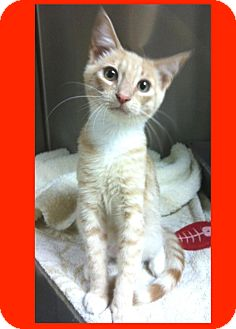 Domestic Shorthair Cat for adoption in Los Angeles, California - Engine