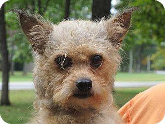Yorkie, Yorkshire Terrier/Poodle (Toy or Tea Cup) Mix Dog for adoption in Spring Valley, New York - Mindy