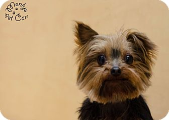 Yorkie, Yorkshire Terrier Dog for adoption in Howell, Michigan - Darcey