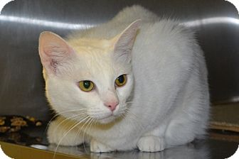 Domestic Shorthair Cat for adoption in Elyria, Ohio - Sassy
