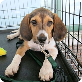 Beagle Mix Puppy for adoption in Richmond, Virginia - Eli