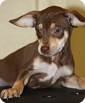 Chihuahua Mix Puppy for adoption in Phoenix, Arizona - Taz
