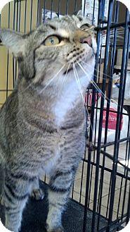 Domestic Shorthair Cat for adoption in Brookings, South Dakota - Turbo