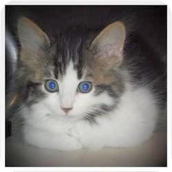Domestic Longhair Kitten for adoption in Medford, Wisconsin - GOMEZ