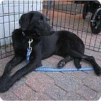 Adopt A Pet :: Julie - Alexandria, VA