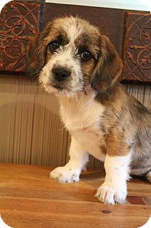Shih Tzu/Dachshund Mix Puppy for adoption in Bedminster, New Jersey - Moon Pie