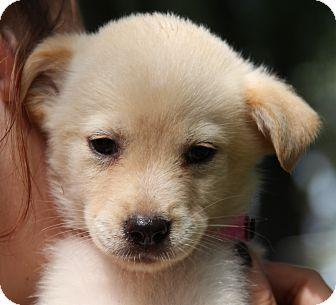 Labrador Retriever Mix Puppy for adoption in Pewaukee, Wisconsin - Susanna