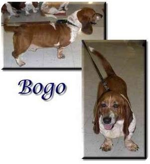 Basset Hound Dog for adoption in Marietta, Georgia - Bogo