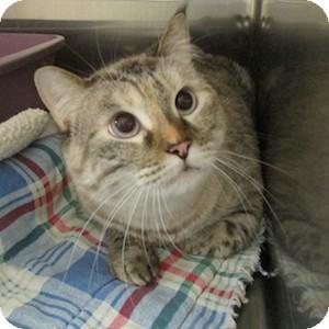 Domestic Shorthair Cat for adoption in Gilbert, Arizona - Speedy