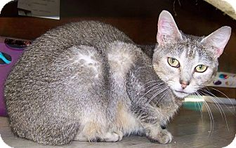Domestic Shorthair Cat for adoption in El Campo, Texas - Pearl