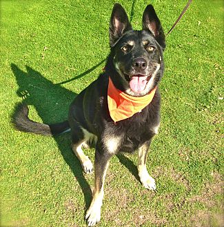 German Shepherd Dog/Husky Mix Dog for adoption in Burbank, California - Beautiful Georgia