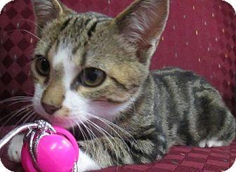 Domestic Shorthair Cat for adoption in Lloydminster, Alberta - Darwin