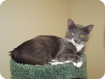 Domestic Longhair Cat for adoption in Marshall, Texas - Jennie