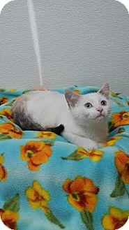 Domestic Shorthair Kitten for adoption in China, Michigan - Shimmer