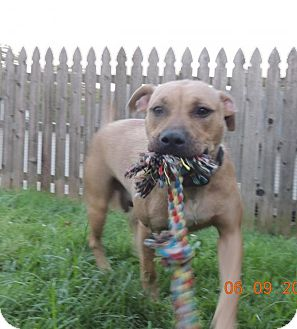 Pit Bull Terrier Mix Dog for adoption in Trenton, New Jersey - Ellie