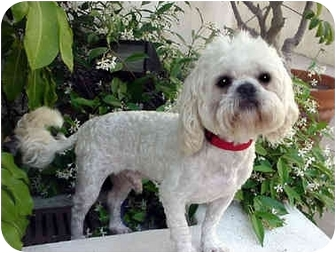 Shih Tzu/Poodle (Miniature) Mix Dog for adoption in Los Angeles, California - WASABE