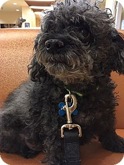 Poodle (Toy or Tea Cup) Dog for adoption in Bowie, Maryland - Adopted! Penelope