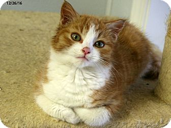 Domestic Shorthair Kitten for adoption in Republic, Washington - Sheldon VALENTINE'S SPECIAL! 5