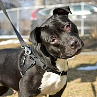 Adopt A Pet :: Haley - Worcester, MA