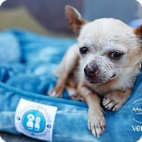 Adopt A Pet :: Verne - Los Angeles, CA