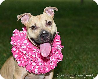 American Staffordshire Terrier Mix Dog for adoption in Davison, Michigan - Nugget