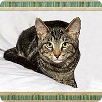 Adopt A Pet :: Bacardi - Mt. Prospect, IL