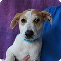 Adopt A Pet :: Farra - Oviedo, FL