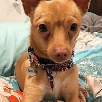 Adopt A Pet :: Sadie - Pleasanton, CA