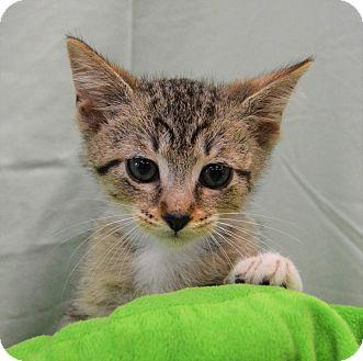 Domestic Shorthair Kitten for adoption in Michigan City, Indiana - Ben