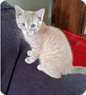 Domestic Shorthair Kitten for adoption in Huntley, Illinois - Colby