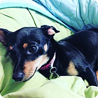 Chihuahua Mix Dog for adoption in Chattanooga, Tennessee - Bonnie