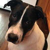 Adopt A Pet :: Brady - Frisco, TX
