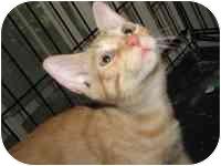 Domestic Shorthair Kitten for adoption in Tampa, Florida - Flip