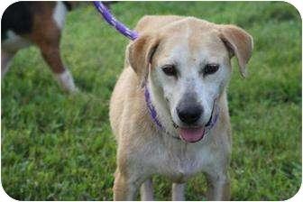 Labrador Retriever Mix Dog for adoption in Shelbyville, Kentucky - Holli Marie