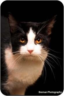 Domestic Mediumhair Cat for adoption in Houston, Texas - Sam