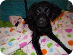 Labrador Retriever Mix Puppy for adoption in Marlton, New Jersey - Lucky girl!