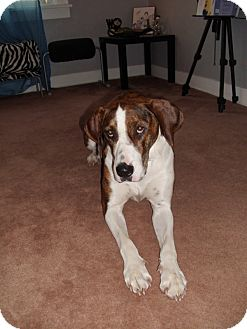 Great Dane/American Bulldog Mix Dog for adoption in New Castle, Pennsylvania - Ruca