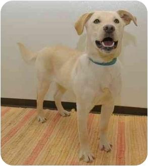 Labrador Retriever Mix Puppy for adoption in Westfield, New York - Emma