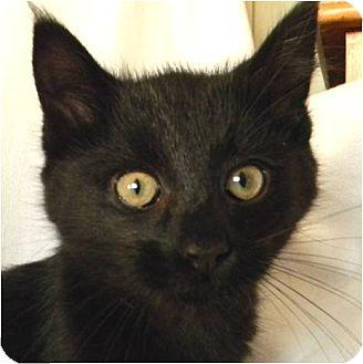 Domestic Longhair Kitten for adoption in Marion, Wisconsin - Asher