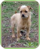 Cairn Terrier/Terrier (Unknown Type, Small) Mix Dog for adoption in Staunton, Virginia - Trina and Trixie