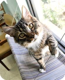 Domestic Mediumhair Cat for adoption in Bradenton, Florida - Chico