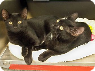 Domestic Shorthair Kitten for adoption in Secaucus, New Jersey - Eggplant